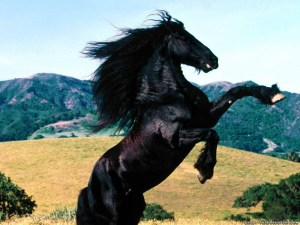 beautiful-black-horse