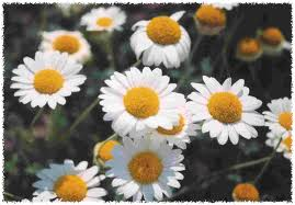 Emotion body mind balance roman chamomile chamaemelum nobile a small perennial plant up to 25 cm high with a branched hairy stem feathery leaves and white flowers with yellow mightylinksfo Gallery