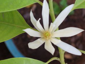 Image from http://en.wikipedia.org/wiki/Magnolia_%C3%97_alba