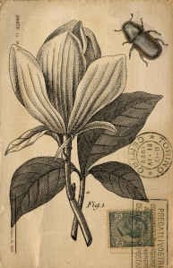 Magnolia_on_parchment_t