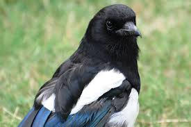 Pica Pica turning into Mrs Magpie