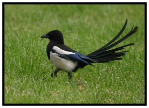 Pica Pica, Ms Magpie showing off